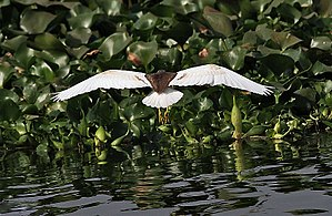 Indian pond heron - When flushed the contrasting white wings flash into view