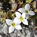 Innocence Blooming (5336597043).jpg