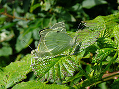 Insect cabbage white butterflies 20070713 0122.jpg