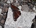 Interesting butterfly (maybe Nymphalis antiopa^) - Flickr - brewbooks.jpg