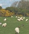 Intruders amongst the flock - geograph.org.uk - 791228.jpg
