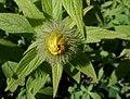 Inula hookeri (Hooker's Fleabane), Culzean Country Park - bud with feathery sepals.jpg