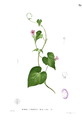 Ipomoea cordatotriloba Blanco1.31.png