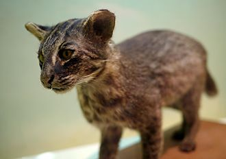 Iriomote cat - A taxidermied Iriomote cat at the Iriomote Wildlife Conservation Center. It has dark gray and brown fur, rounded ears, light amber eyes, and a flattened nose.