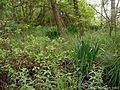 Iris-pseudacorus-habitat.JPG
