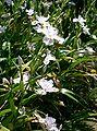 Iris japonica1.jpg