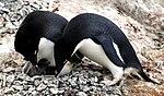 Islas Yalour 6, pingüinos.jpg