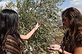 Israel Olive Picking (8157035080).jpg