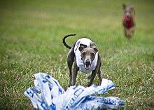 Italian greyhound lure coursing.jpg