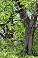 Ivanchytsi Rozyshchenskyi Volynska-Tilia cordata nature monument-details-1.jpg