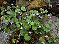 Ivy-leaved Toadflax (Cymbalaria muralis) (4732404596).jpg