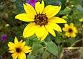 JNU Three Yellow Sunflowers.jpg