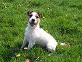 Jack-Russell Terrier.jpg