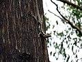 Jacky Dragon (Amphibolurus muricatus) (8243670002).jpg
