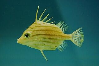 Spikefish