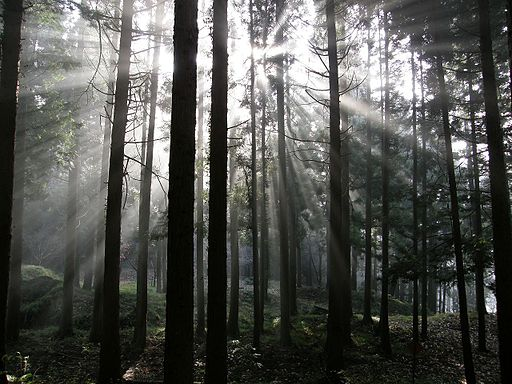 Japanese cypress woods C032473