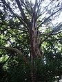 Jardin Albert Kahn, Boulogne-Billancourt. Un arbre, mais lequel (9970274643).jpg