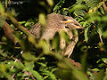 Jungle Babblers I-Bharatpur IMG 8465.jpg
