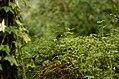 Jungle myna Kolli hills JEG3064 .jpg