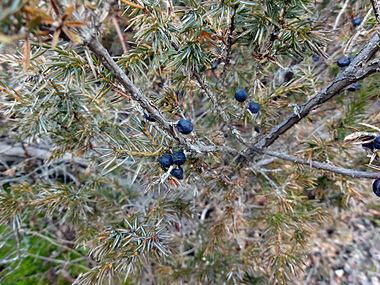Juniperus communis var depressa SCA-02667.jpg