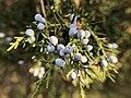 Juniperus virginiana, Yerevan Botanical Garden.jpg