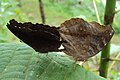 Junonia iphita - Chocolate pansy mating 03.JPG