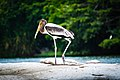 Juvenile Painted Stork at Ranganathittu Bird Sanctuary.jpg