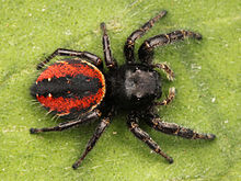 Kaldari Phidippus johnsoni female 03.jpg