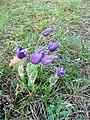 Kamenný vrch, kvetoucí koniklece (6).jpg