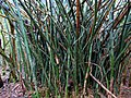 Kauai Wild Bamboo (3271249642).jpg