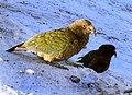 Kea. (Nestor notabilis) (8100861319).jpg