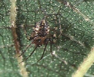 <i>Platnickina</i> Genus of spiders