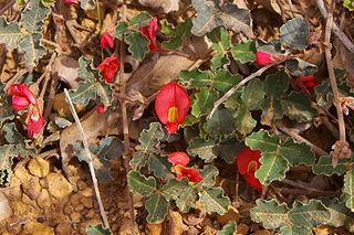 <i>Kennedia prostrata</i> species of plant