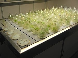 Germination - Germination rate testing on the germination table