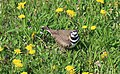 Killdeer in a field of dandelions.JPG