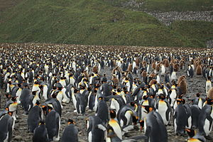 Atlantic: The Wildest Ocean on Earth - Half a million penguins nest on the beaches of South Georgia, just one of eighty-seven species of bird that live on the island