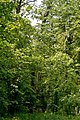 Kivertsi Volynska-Forest area-1 nature monument-view from forest road.jpg