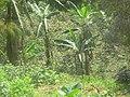 Kiziguro Primary School Garden- Banana tree - Plantation de bananier de l'école primaire de Kiziguro (4134780398).jpg