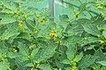 Kluse - Physalis philadelphica - Tomatillo 12 ies.jpg