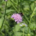 Knautia dipsacifolia-IMG 3630.jpg