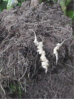 Knolvoet bij bloemkool (Plasmodiophora brassicae on cauliflower).jpg