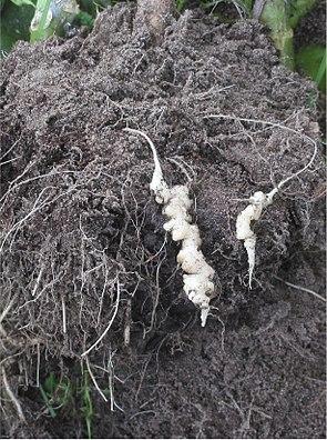 Plasmodiophora brassicae an den Wurzeln von Blumenkohl