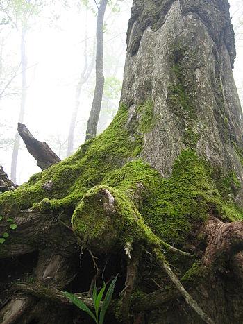 木の根本のコケ