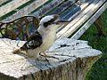 Kookaburra (5279423144).jpg