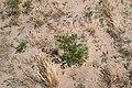 Korina 2015-07-30 Robinia pseudoacacia.jpg