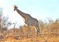 Krügerpark Giraff h.jpg