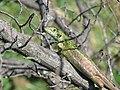 Lacerta viridis, Sićevačka klisura, Niš, Serbia (67).jpg