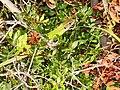 Lacerta viridis (Zingaro) 02.jpg