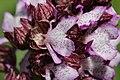 Lady Orchid - Orchis purpurea (17091404100).jpg