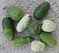 Lagenaria siceraria - diversity by tonrulkens - 001.jpg